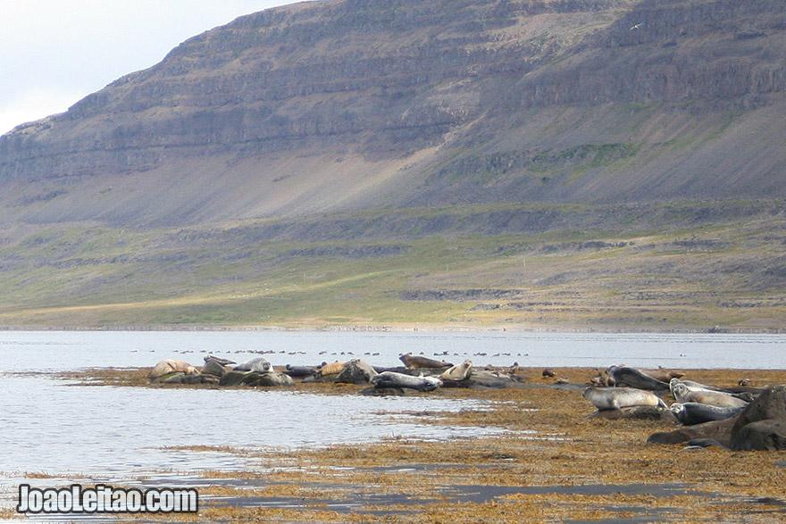 Seal Watching Westfjords Region Iceland