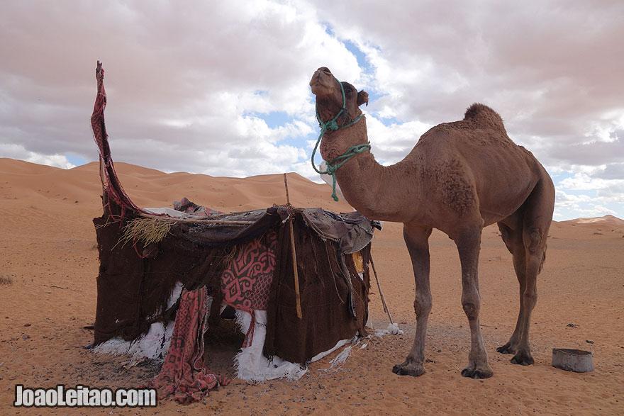 Camel and Tent in Sahara Desert