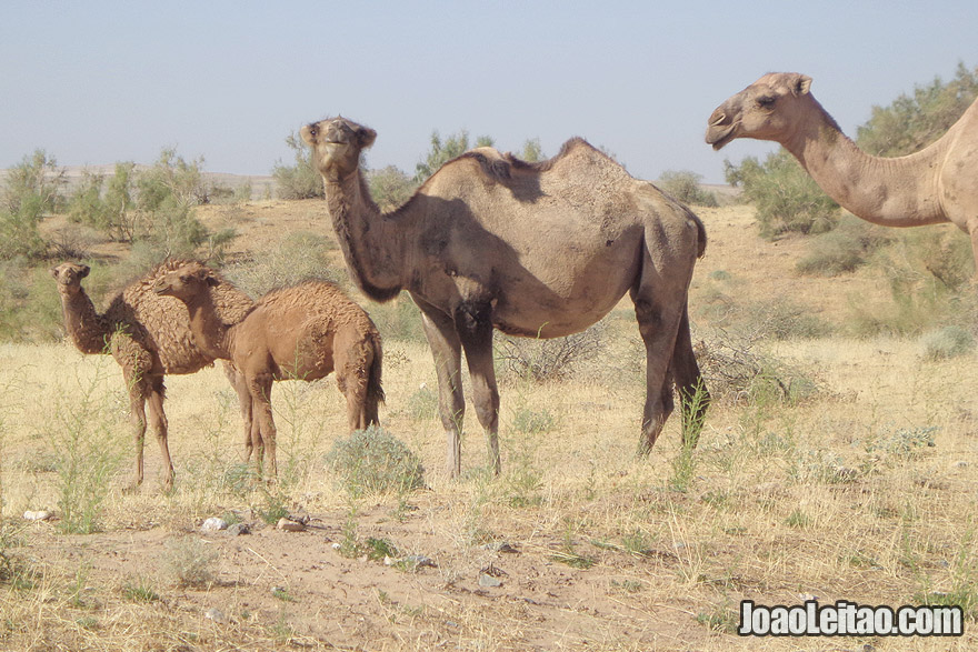 Camels in Aydar Lake
