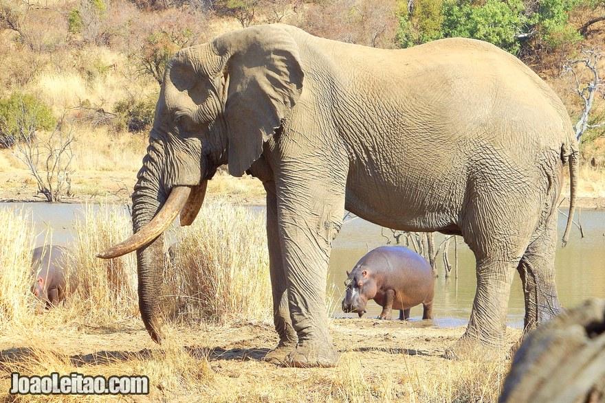 Elefante e hipopótamos na África do Sul
