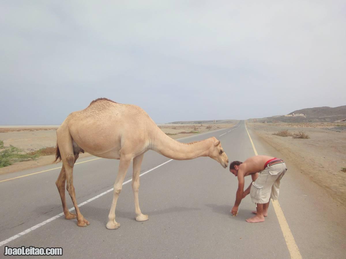 FEEDING CAMEL OMAN