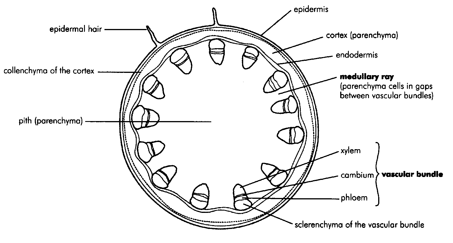 Internal Structure Of The Dicotyledonous Stem By Openstax