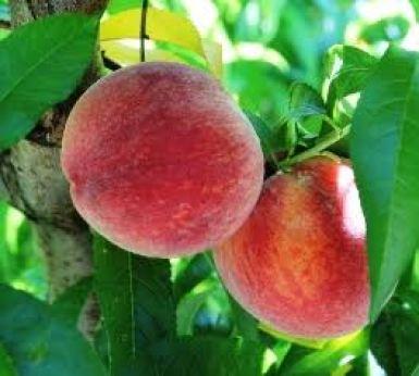 Peaches picture