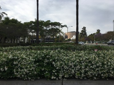 jasmine flowers planted in beverly hills copy