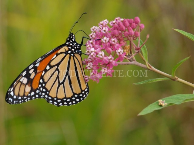 Monarch Butterfly on Asclepias
