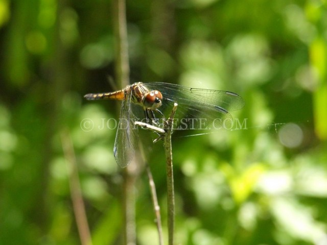 Meadowhawk Dragon Fly