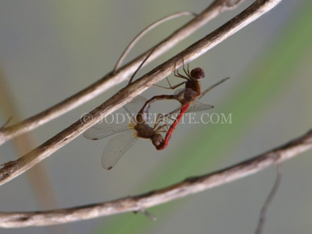 Red Meadowhawk Dragonflies Mating