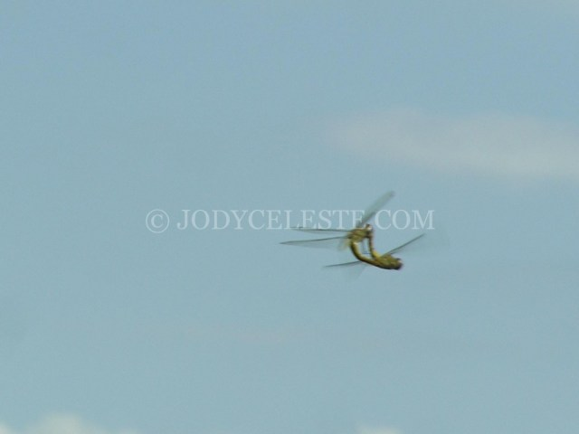 Dragonflies Mating in Flight