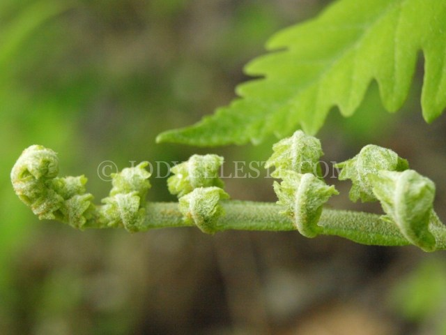 Sensitive Fern Fiddlehead