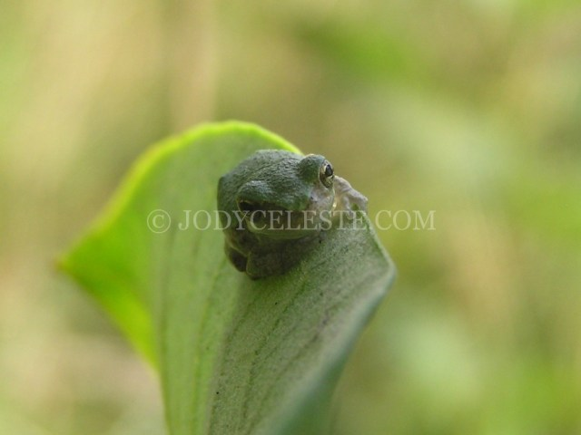 Grey Tree Frog on Milkweed