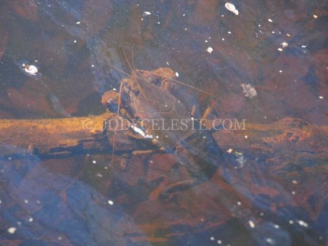 Crayfish Underwater