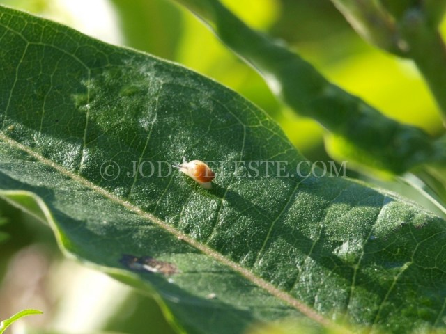 Baby Snail on Leaf
