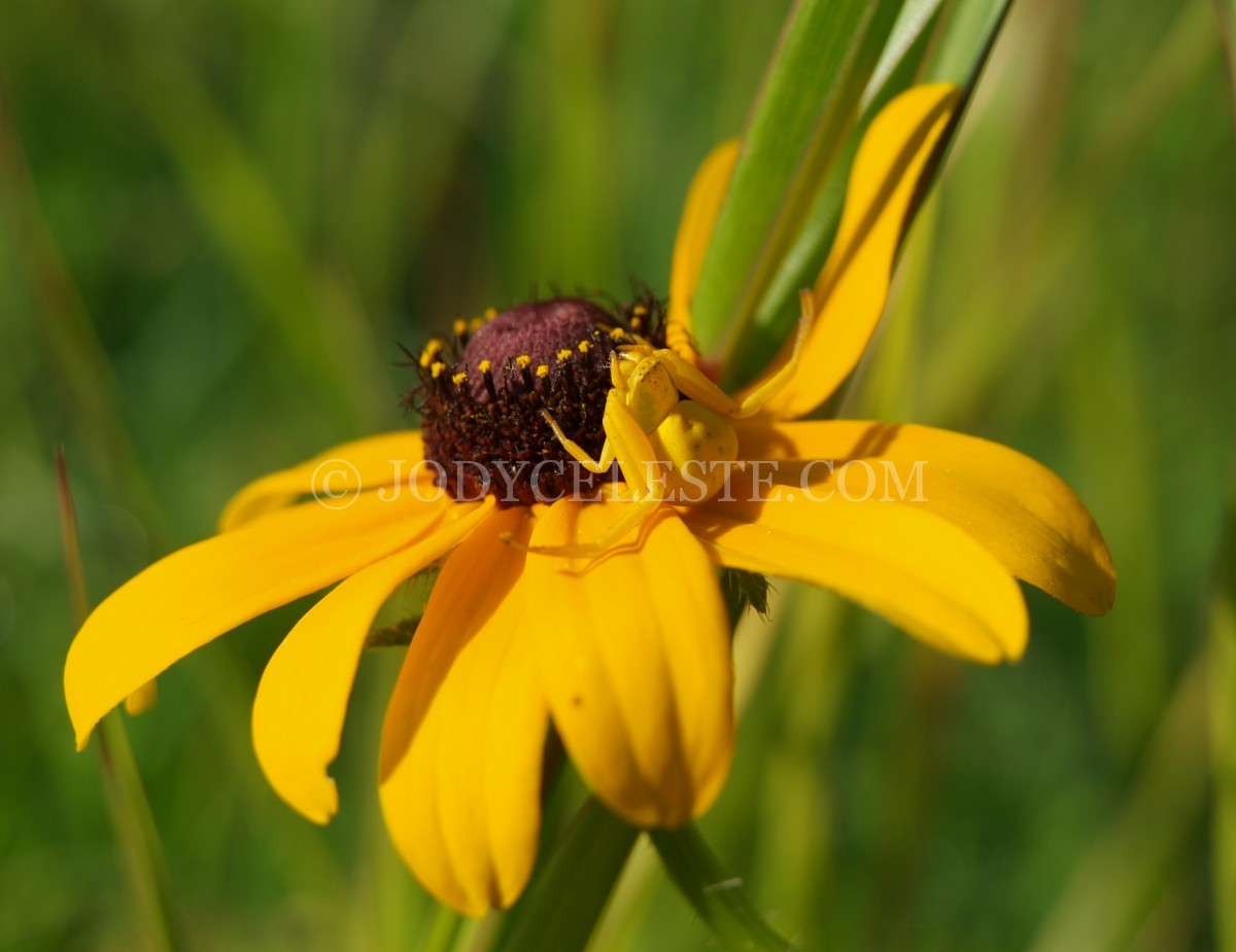 Spiders, Agriope, Garden Spiders, web with dew, webs,