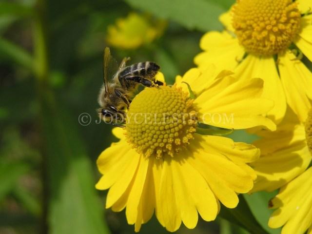 Honey Bee on Sneezeweed