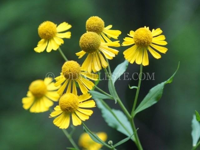 Yellow Sneezeweed