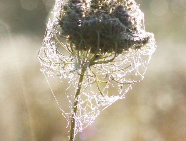 Spider Web on Queen Anne's Lace