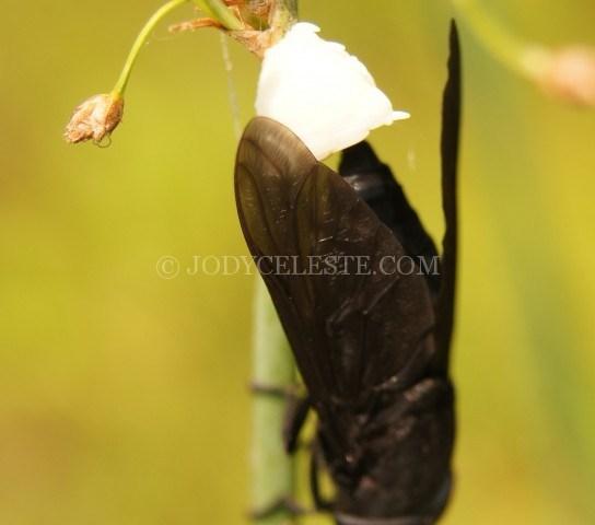 Black Horsefly Laying Eggs