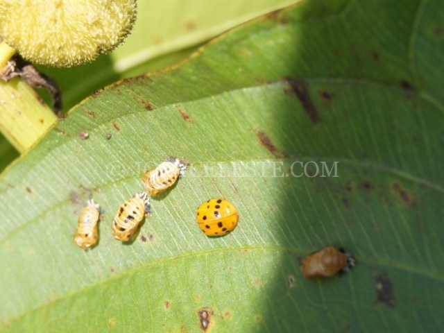 Lady Beetles and Pupa