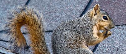 squirrel control chattanooga