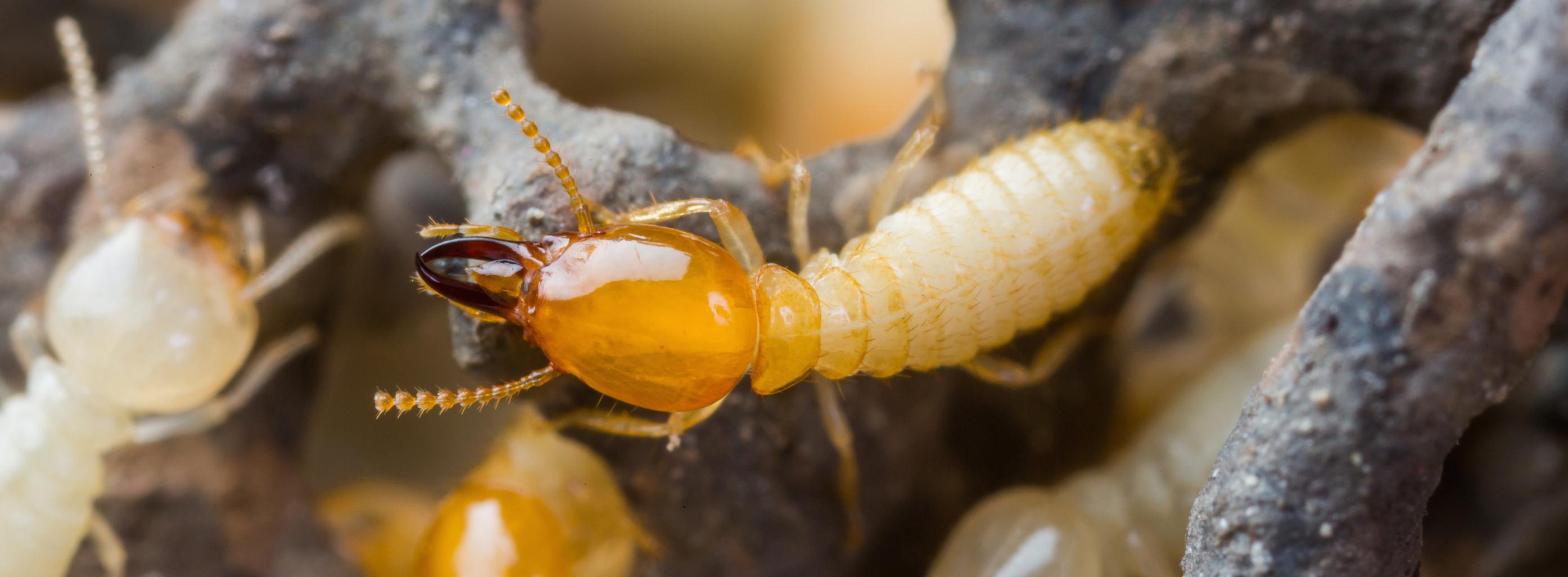 termite control chattanooga