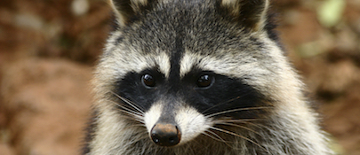 raccoon control chattanooga