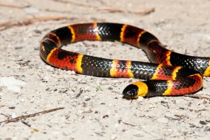 Eastern Coral Snake on sandy gravel