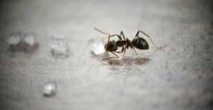 argentine ant with a trail of sugar crystals on a gray floor