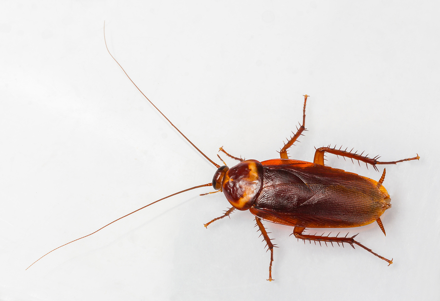 overhead view of an american cockroach on a white surface