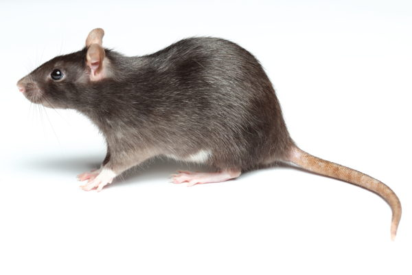 Side profile of a Black Rat on a white background
