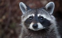 Raccoon (Procyon lotor), also known as the North American raccoo