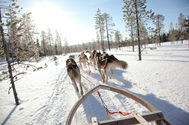 team of huskies leading sleigh