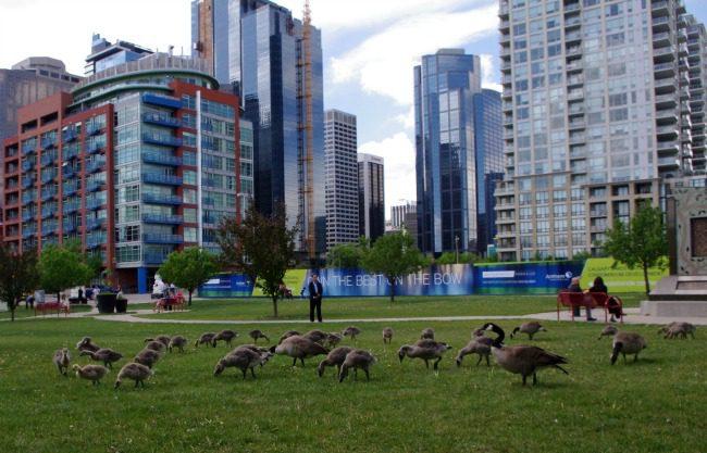ducklings grazing