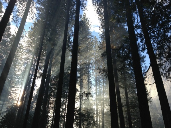 tall tree forest