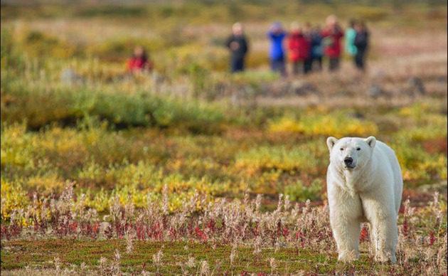 Rush of a lifetime: Arctic Safari in Churchill, Manitoba