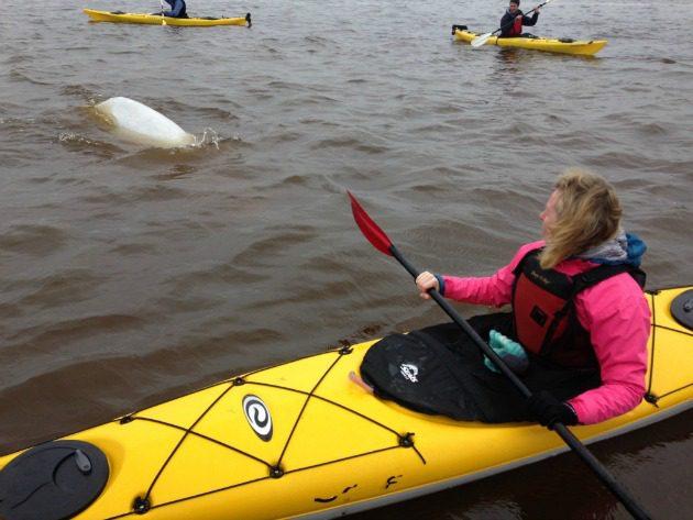 beluga encounter churchill manitoba