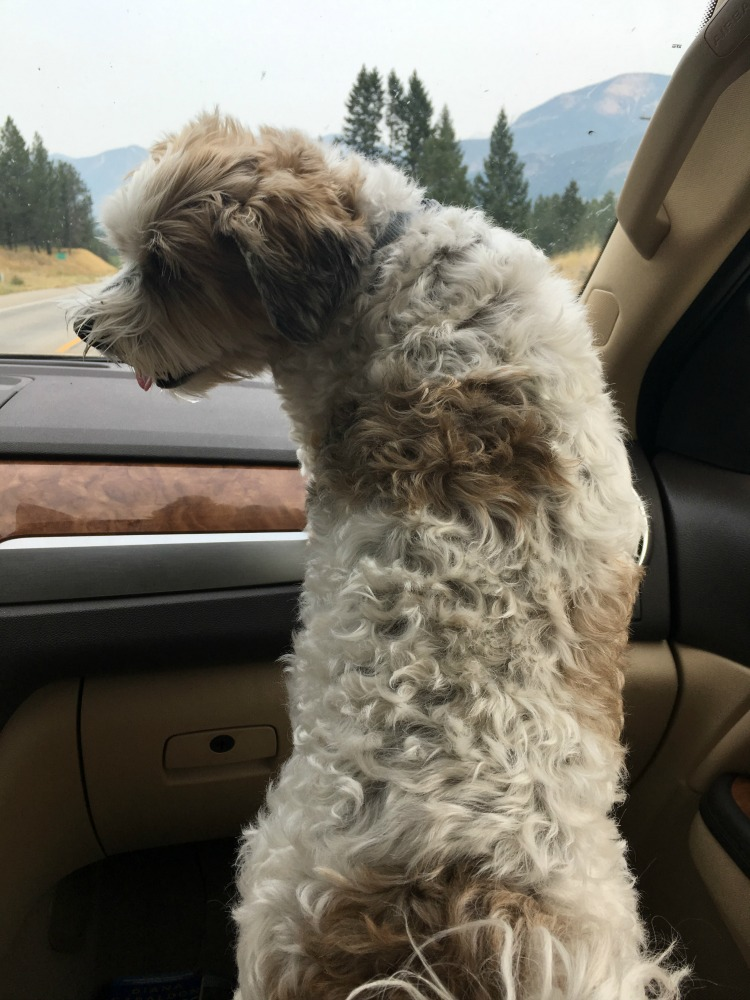 dog standing in car