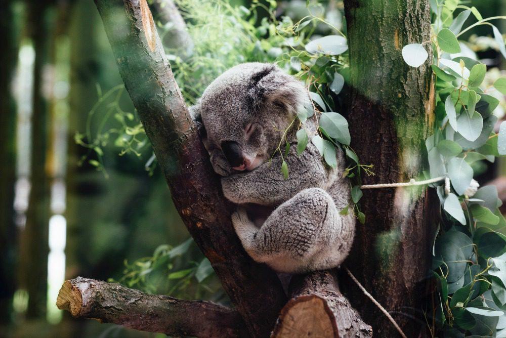koala bear asleep in a tree