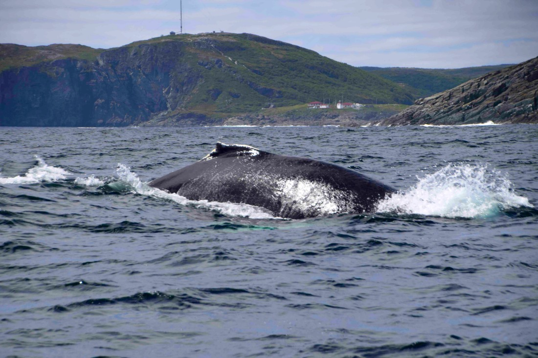 St. Anthony whale watching tour