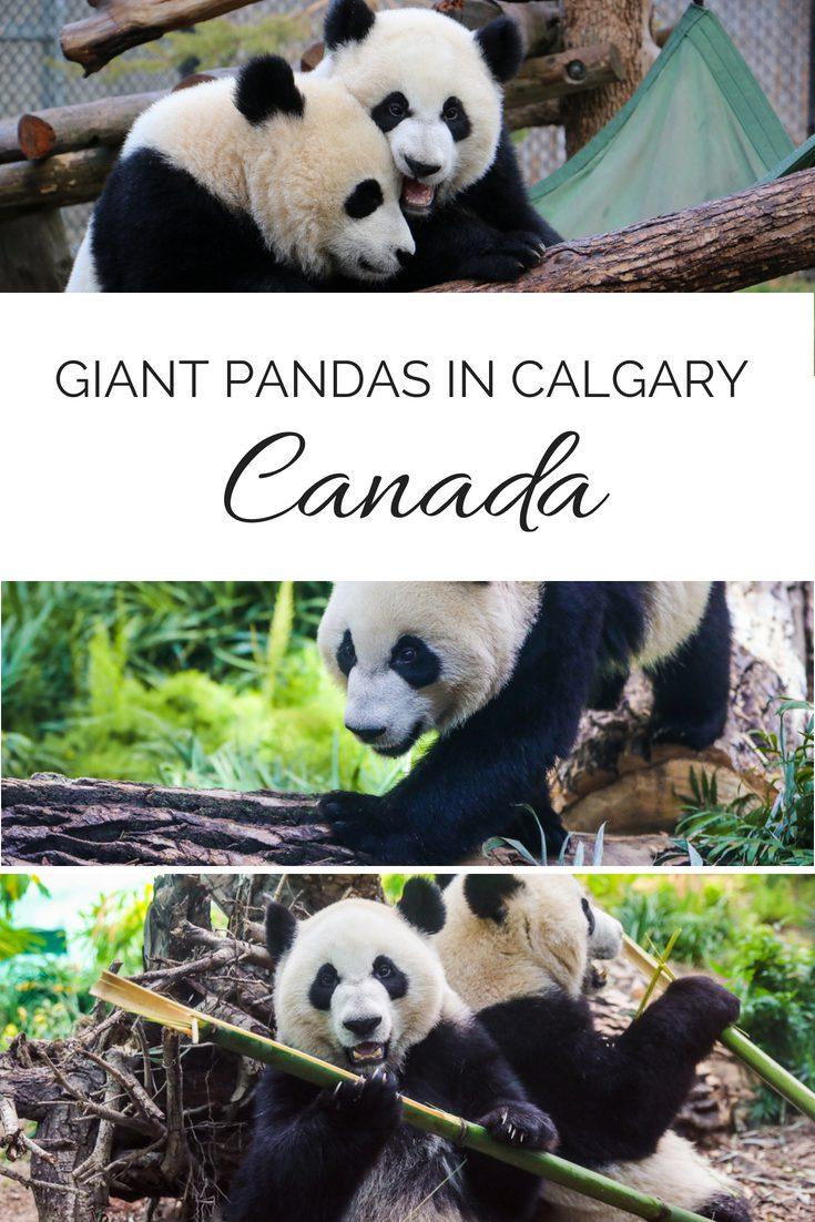 giant pandas Calgary zoo canada