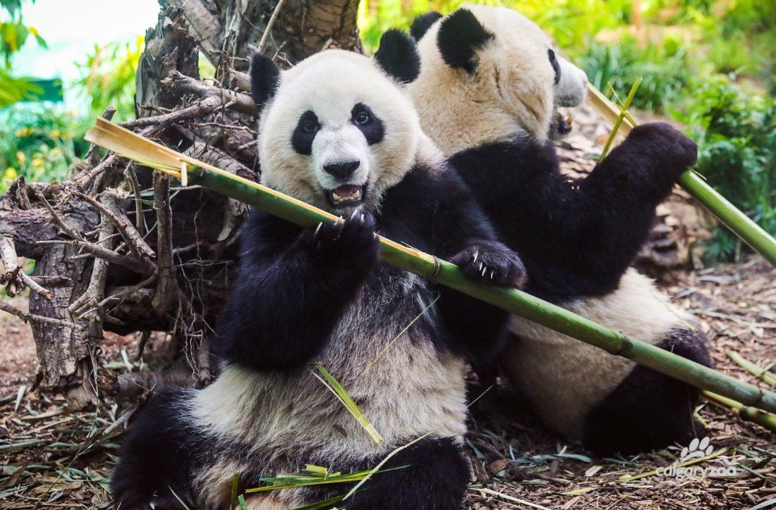 pandas eating bamboo