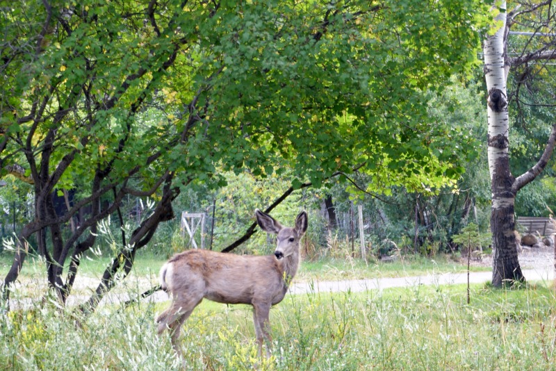 deer in waterton lakes national park