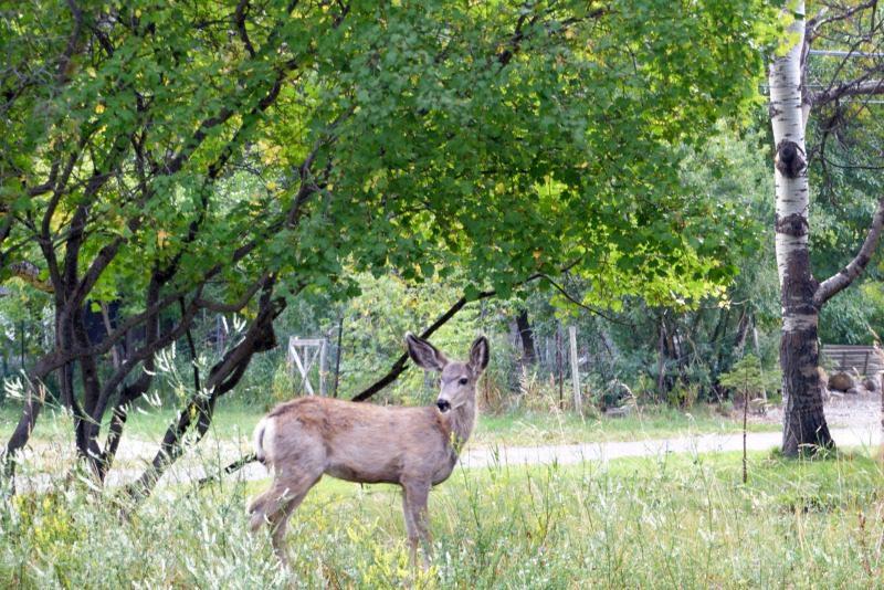 deer in waterton lakes national park