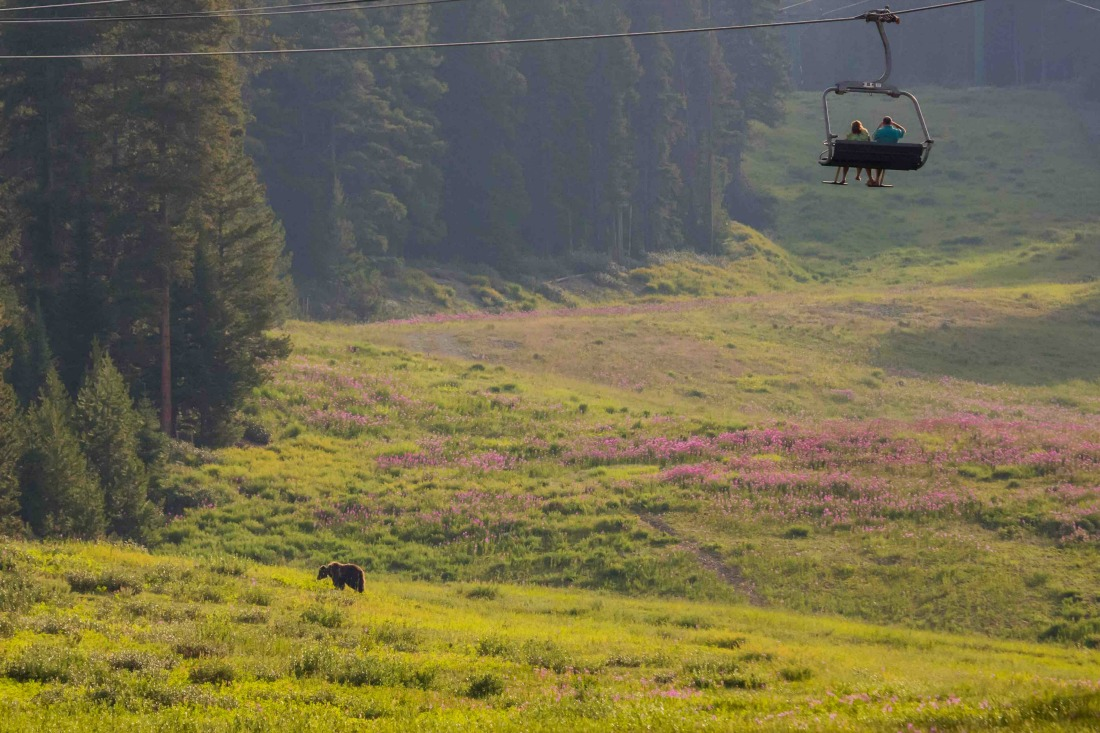 What's Banff's best kept secret? Bear viewing from Lake Louise gondola!