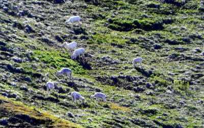 Alaska, Denali NP, Dall schapen