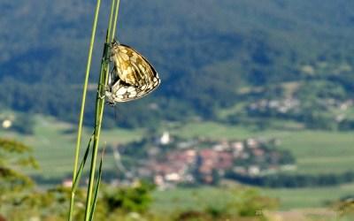 Parende Dambordjes op heuveltop Slivnica, met uitzicht op het dorpje Zerovnica, waar we logeerden, Slovenië, 3-7-2014