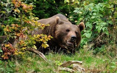 Bruine beer, National Park Centre Lusen, Duitsland, 5-10-2014