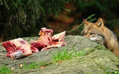 Wolf, National Park Centre Lusen, 8-10-2014