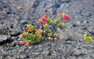 Nieuw leven op gestold lava, Vulcanoes NP, Hawaii, 2011