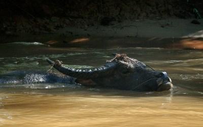 Myanmar, Inle Meer, Waterbuffel