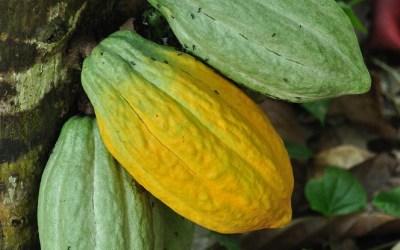 Vruchten aan een cacaoboom, Flores, Indonesië, 2012